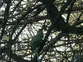Sighting Indian Ringneck Parakeet