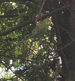 Sighting Parakeet